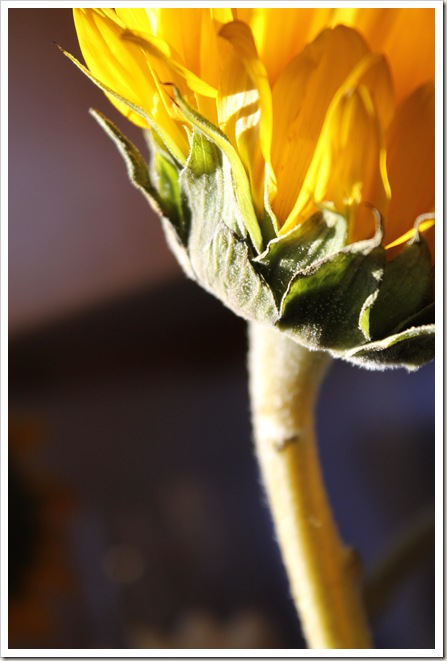 sunflowers 037