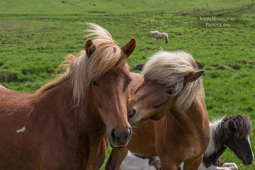 Исландские лошадки играют друг с другом, дразнятся, покусывают..