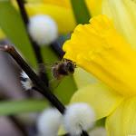 die erste Biene des Jahres