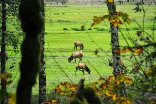 איילים במרעה