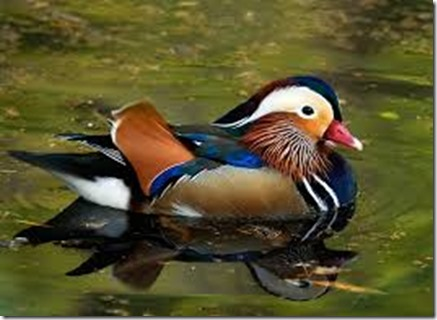 mandarin-duck-male