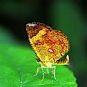 Butterfly Moth / Callies Moth
