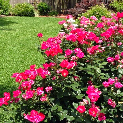 backyard knockout roses