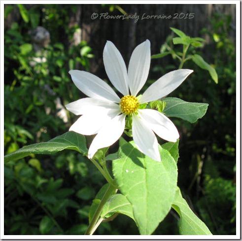 11-12-daisy-tree