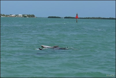 Dolphin Mating near Venture Out channel, swimming on his back