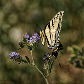 Emperor by Cristobal Garciaferro Rubio - Animals Insects & Spiders ( butterfly, emperor, flowers, bokeh, flower )