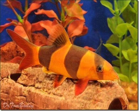 be-ca-canh-clown_loach_cacheohe_cachuotbasoc003-be-thuy-sinh