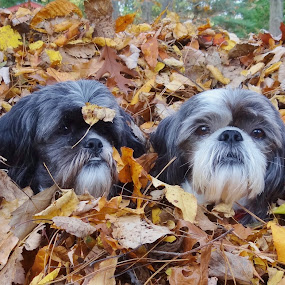 I think it is fall. by Carolyn Kernan - Animals - Dogs Playing (  )