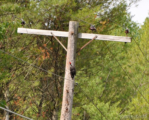 3. pileated woodpecker-kab