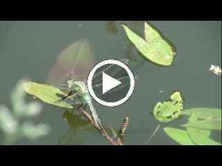 Een vrouwtje van de Grote keizerlibel zet haar eieren af op drijvend fonteinkruid