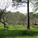Parc de la Maison de Chateaubriand : catalpa commun réenraciné