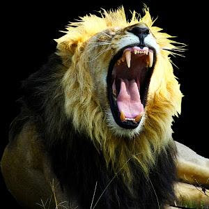 IMG_5366 Lionblack22copy.jpg