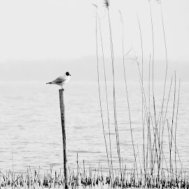 Gull by Luigi Girola - Black & White Animals ( water, nobody, winter, pole, nature, black and white, gul, lake, alone, reeds, nature photo, canes,  )