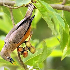 chestnut tailed starling.. by Shibram Nag - Animals Birds ( chestnut tailed starling.. )