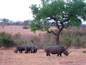 A nice pictures of the rhinos at sunset.
