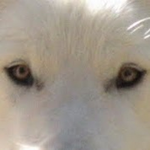 Big Wolf Dog Hybrid