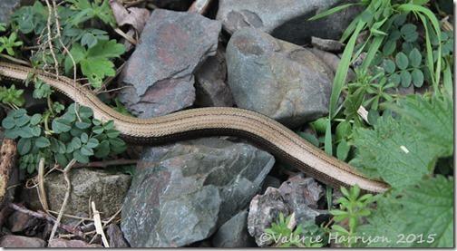 31-slowworm