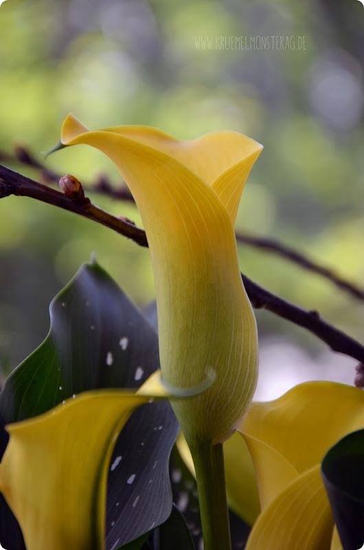 GdW (03) gelbe Calla im Töpfchen von meiner Mama