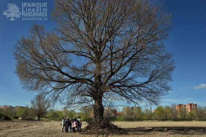 el abuelo: olmo centenario en el parque lineal