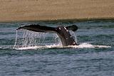 A Humpback Whale - Juneau, AK