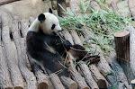 Zoo de Beauval -  Panda