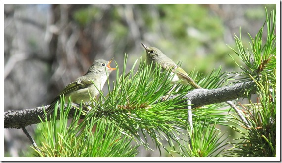 2015-07-29 Wyoming, Foxpark - Ruby Crowned Kinglet Bird (1)