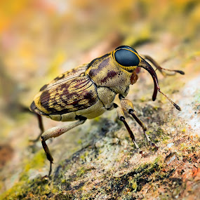 Fungus Weevil by Tan Tc - Animals Insects & Spiders ( nature, macro photography, artistic objects, weevil, insects )