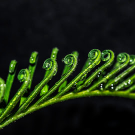 New leave - Palm by Sergio Yorick - Nature Up Close Leaves & Grasses ( palm, nature, green, raindrops, leaves )