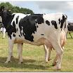 cattle04.jpg