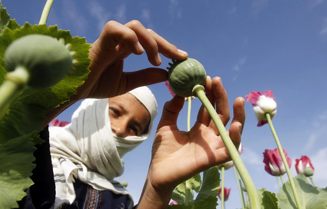 A boy works at a poppy field in Jalalabad province, 7 April 2013. Photo: Parwiz / Reuters