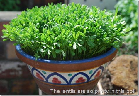 Green lentils microgreens