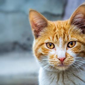 A Little Lion by Ahmet Çamaltı - Animals - Cats Portraits ( cat )