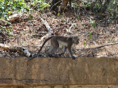 Bilde av en apekatt.