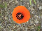 Desert Mariposa Lily 4/16