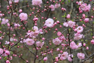 Double Flowering Plum Prunus triloba Multiplex