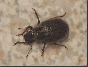Othiorhynchus sp