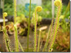 drosera_filiformis_leave_by_dom1234