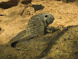 A meerkat at the Nashville Zoo 09032011c
