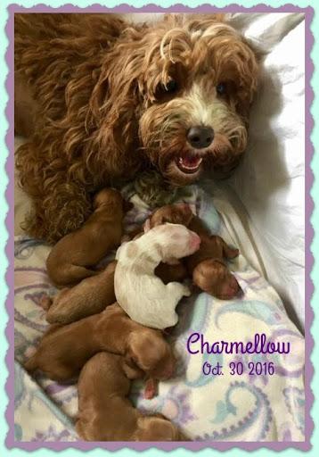 New Mama Charmellow babies just born