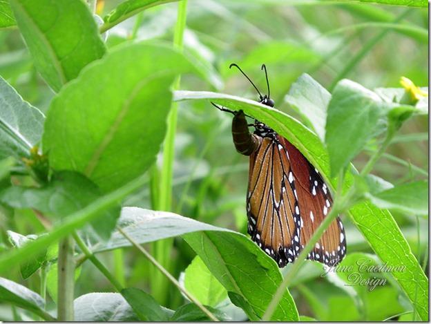 Queen_Butterfly7