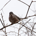 Dartford Warbler; Curruca Rabilarga