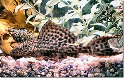 be-ca-canh-suckermouth_catfish_potted_pleco_catyba001-be-thuy-sinh