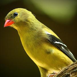 Female American Goldfinch by Paul Mays - Animals Birds