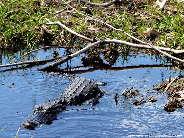 alligator-everglades.JPG