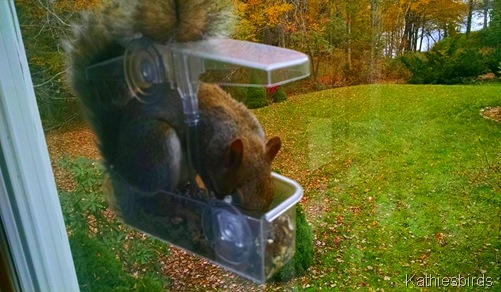 15. 10-28-15 Gray squirrel in window feeder