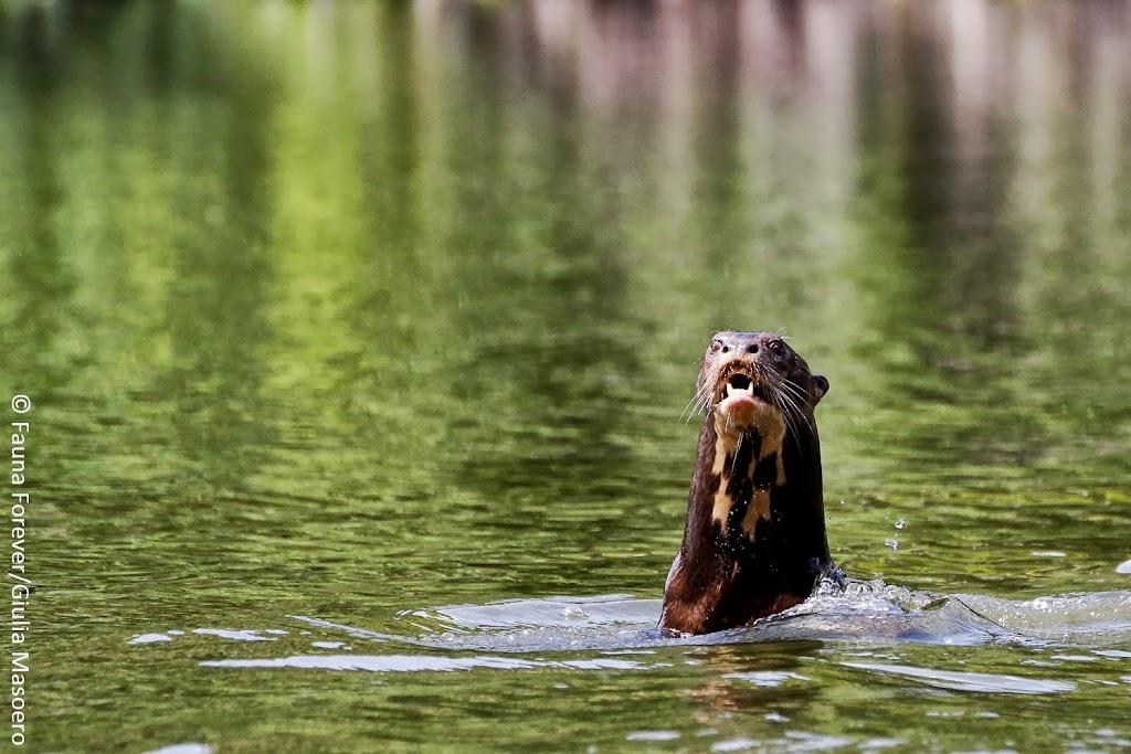 Giant river otters Pteronura brasiliensis by Giulia Masoero