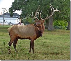 Elk at Richmond DFS (15)