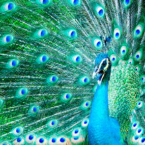 PEACOCK by Ak Pak Belang Sopan - Animals Birds