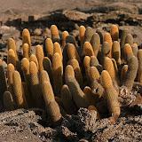 Lava Cactus - Fernandina Island