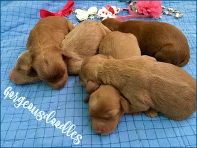 Labradoodle baby puppies